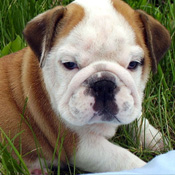 POTTY TRAINED MALE AND FEMALE English Bulldog Puppies FOR ADOPTION.