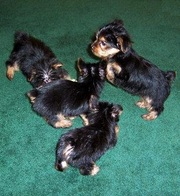 Elegance Teacup Yorkies Puppies For Free Adoption