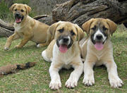 lovely great pyranese puppies for sale