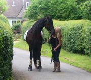 Friesian Horse for adoption